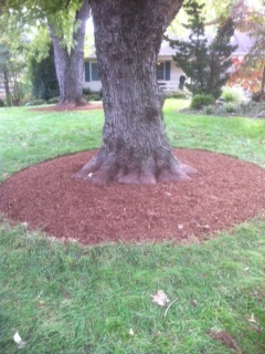 Properly mulched silver maple